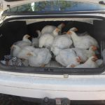 And the 'free-range'chickens were even escorted to the function in Lunga's car.