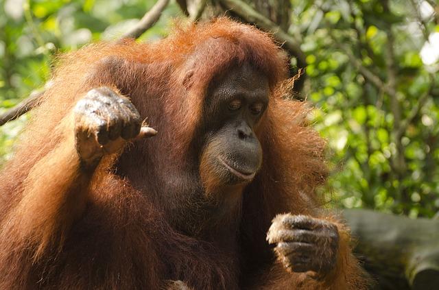 orangutan-681664_640