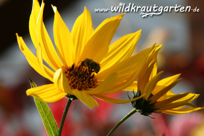Wildkrautgarten_Topinambur_Bienenweide
