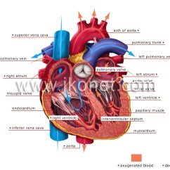 Heart Diagram Quiz Games Complement Of A Set Venn Human Being > Anatomy Blood Circulation Image - Visual Dictionary