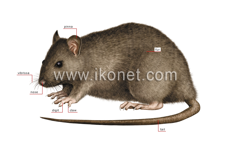 Animal Kingdom Rodents And Lagomorphs Rodent Skeleton Of A Rat Php
