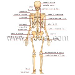 Human Skull Bones Diagram Labeled 2003 Ford F350 Wiring Being Anatomy Skeleton Posterior View Image Visual
