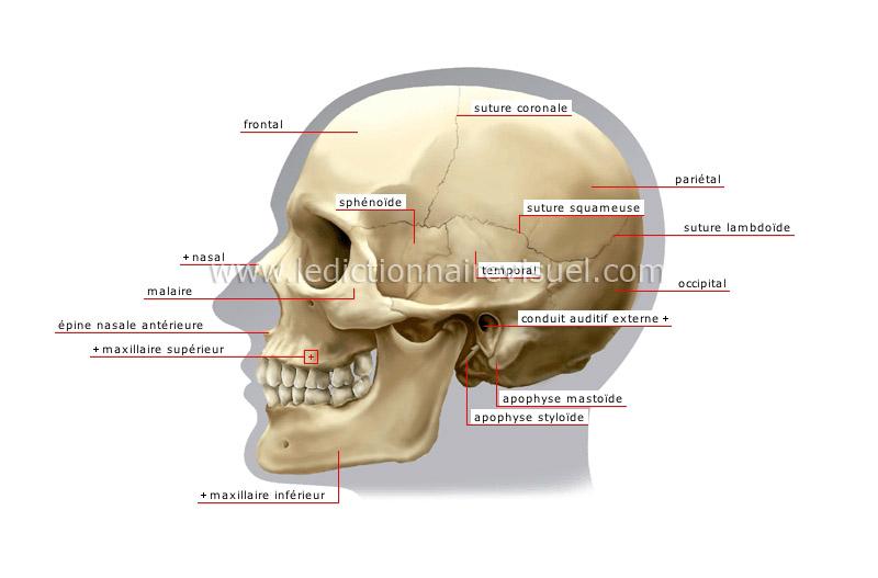 Zygomatic Process Of Temporal Bone