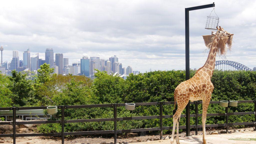 Giraffe with Harbour Bridge Taronga Zoo