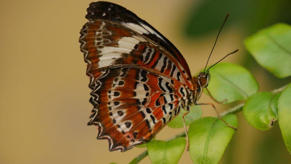 Rood, wit, zwarte vlinder met strepen