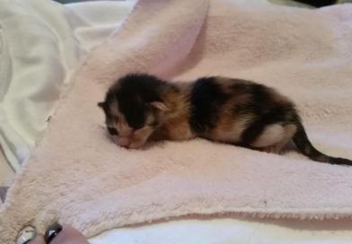 Enpa Faenza: c'è speranza di salvare la gattina gettata nell'immondizia