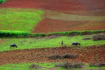Nello stato Shan, l'aratura dei campi avviene ancora con metodi tradizionali.