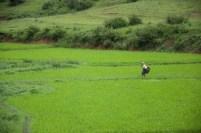 Una donna birmana attraversa piantagioni di riso di montagna, una qualità meno pregiata che cresce spontanea.