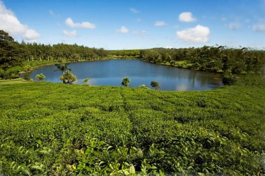 La route du thé - île Maurice