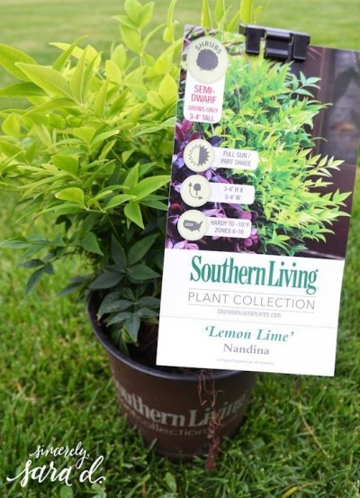 Lemon-Lime-Nandina-550-72