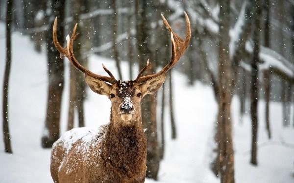 Deer in Snow Desktop Backgrounds