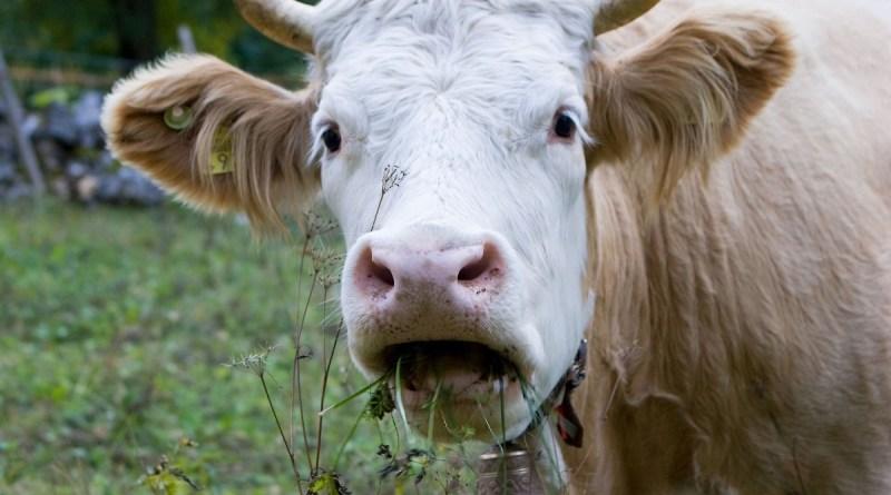 Dna delle mucche per risolvere i casi di abigeato. CSI Sant'Agata di Militello