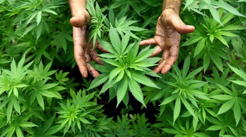 piante di canapa