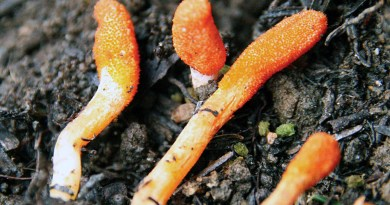 """Ophiocordyceps sinensis, noto come """"fungo della giovinezza"""" o """"fungo caterpillar"""""""