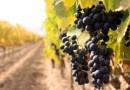 Vino di Sicilia il più antico del mondo. Scoperti due diversi siti di produzione vinaria già 6000 anni fa