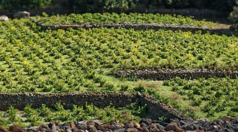 Parte il progetto di riforestazione dell'isola Pantelleria che, a seguito del vasto rogo di origine dolosa nel 2016, ha perso oltre 600 ettari di boschi e vegetazione autoctona. L'appuntamento è domani, mercoledì 21 marzo, alle ore 10.00, in via Pellegrino - località Kuddie Rosse.
