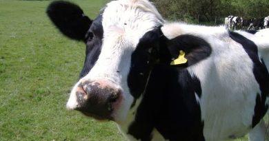 """Tubercolosi bovina, M5S: """"Fenomeno allarmante, istituita sottocommissione all'Ars"""""""