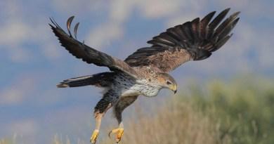 Sono serviti ben 17 mesi di cure veterinarie alla Lipu di Ficuzza ma finalmente può tornare a volare l'esemplare di aquila di Bonelli ferita nel settembre del 2016 da un bracconiere