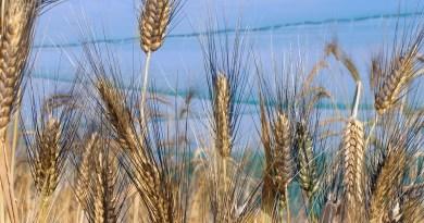 """Agricoltura, M5S: la sede della Commissione unica nazionale sul grano sia in Sicilia. """"""""La creazione della Cun sul grano deve essere una priorità della agenda di Governo"""""""