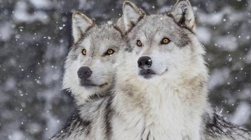 I lupi sanno far pace e i cani domestici no