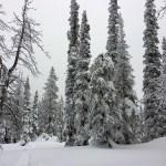 Bogus Freeman peak - Ponderosa pines