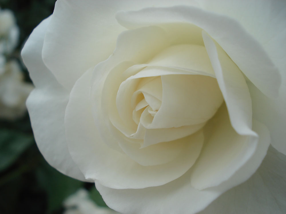 Rose  Il Giardino degli Angeli