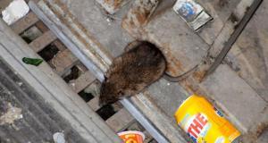 Emergenza sanitaria, i rifiuti abbandonati per strada attirano ratti