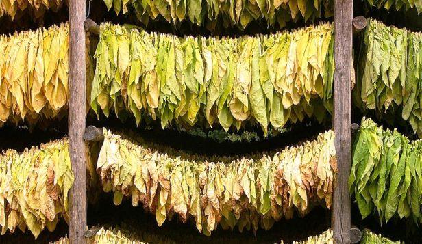 tabacco essiccato