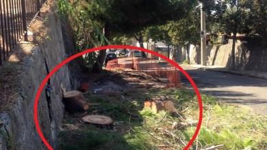 Photo of Pini alla Borbonica: al via il taglio selvaggio