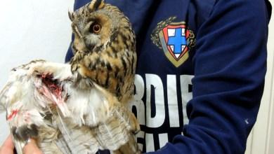 Photo of Gufo sparato al Vatoliere, l'Enpa lo recupera
