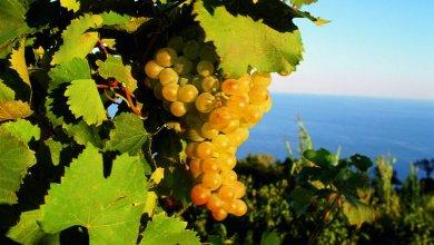 Photo of L'AIS celebra la Doc Ischia nella Giornata della Cultura del Vino e dell'Olio