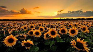 """Photo of Giosì, Mimì e il Girasole simbolo di un legame che non conosce """"tramonto"""""""