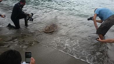 Photo of A San Montano liberi dieci esemplari di tartaruga marina