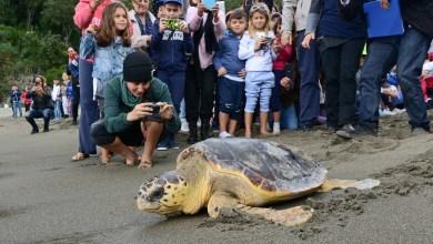 Photo of Di nuovo libere, a Ischia dieci tartarughe caretta tornano in mare