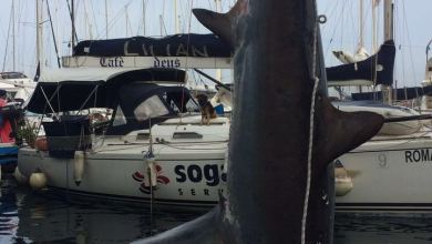 Photo of Squalo enorme pescato nel golfo di Napoli: pesa 300 chili