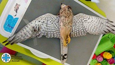 """Photo of Giovane falco sparato nei cieli di Barano, il commento dell'Enpa """"si tratta di barbarie"""""""