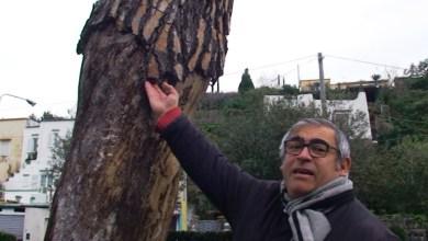 Photo of Fondobosso, abbattuti due pini secchi a rischio