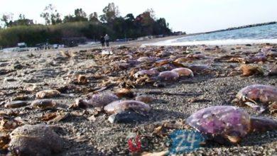 Photo of A Ischia migliaia di meduse spiaggiate a causa dell'effetto caldo e dell'aumento della specie.