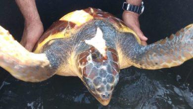 Photo of Forio, tartaruga liberata dalle reti