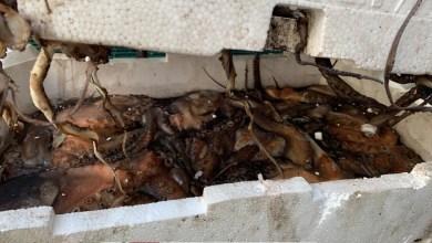 Photo of Guardia Costiera, sequestrata mezza tonnellata di pesce malconservato