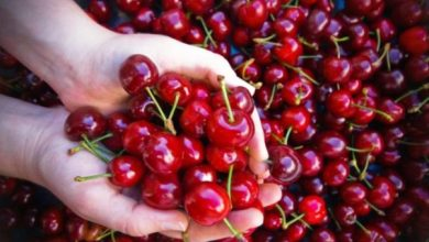 Photo of Ischia, ecco le ciliegie: il frutto che annuncia l'arrivo dell'estate