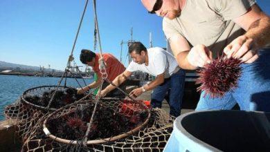 Photo of Ancora una settimana, poi pesca libera per l'attesa cattura dei Ricci di mare