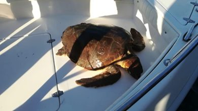 Photo of Recuperato un esemplare di Caretta Caretta a largo di Forio