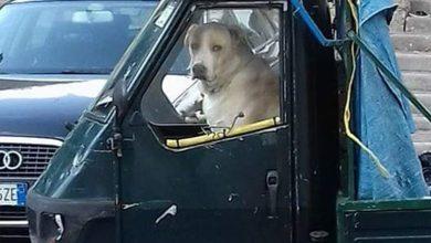 Photo of LA CURIOSITA' Cane al volante a Piedimonte, la foto diventa virale