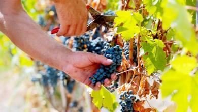 """Photo of Oggi entra un' """"estate di San Martino"""" controcorrente con nubi e senza  sole  ma si  festeggia lo stesso nelle  nostre cantine  salutando il vino novello"""