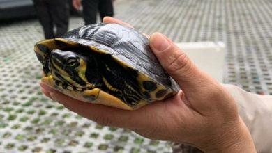 Photo of Vigili del fuoco salvano tartaruga dal Rio Corbore