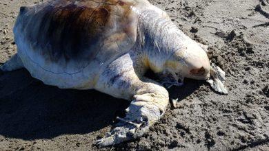 Photo of Tartaruga morta sulla spiaggia di San Pietro, si indaga sulle cause del decesso