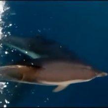 Photo of MARE E NATURA I delfini al largo di Punta Caruso