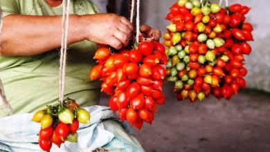 Photo of L'arte del piennolo dei nostri pomodori attrazione di pergolati e case rurali. L'isola contadina mostra il meglio dei suoi vari terreni coltivati e rilanciati