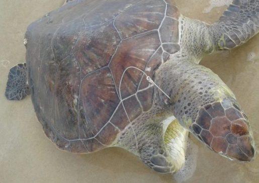 Mais de 35 tartarugas foram achadas mortas no sul da Bahia este ano; ação do homem é maior causadora de óbitos, diz ONG 7